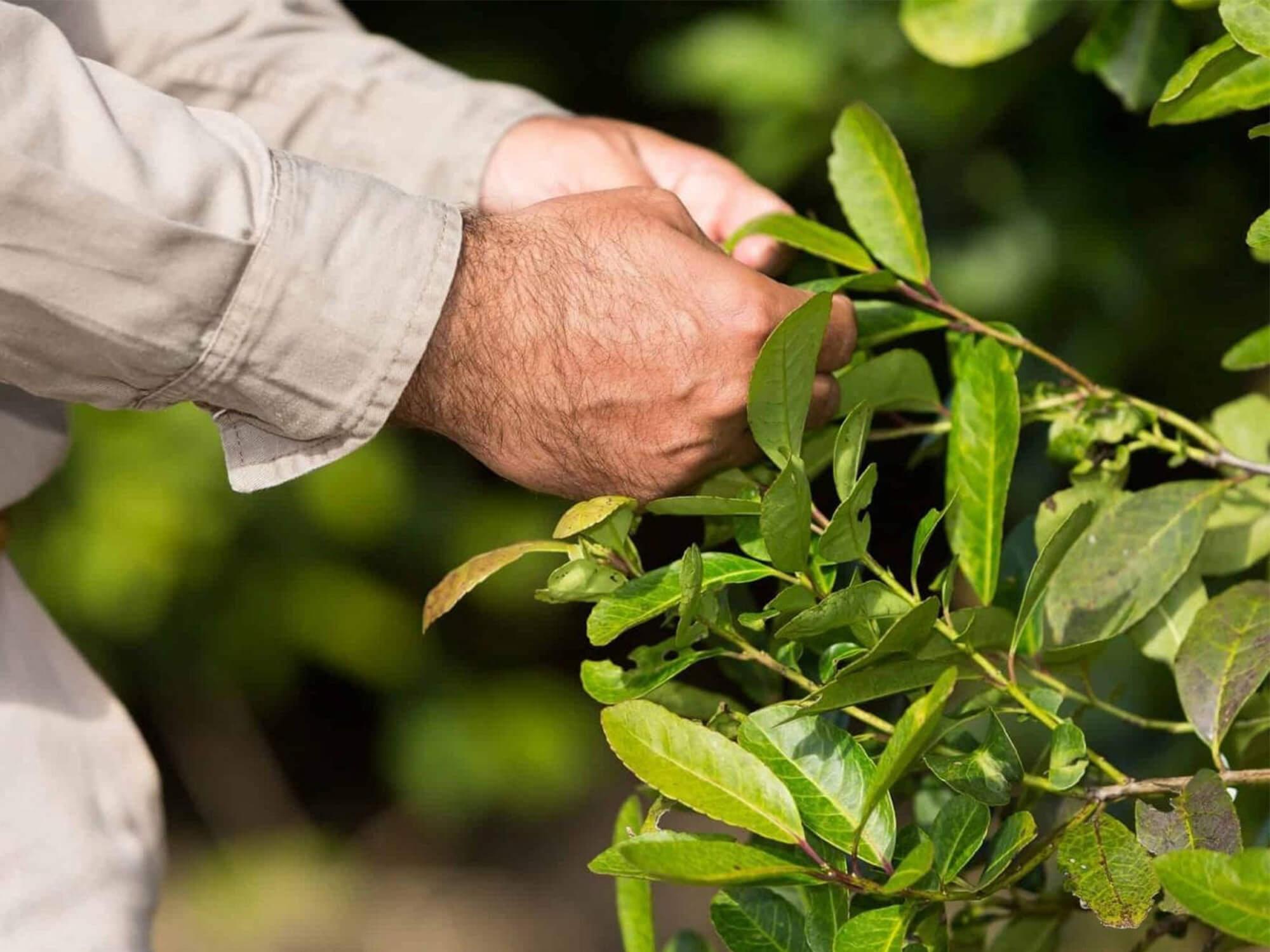 yerba mate plant natuurlijk blaadjes